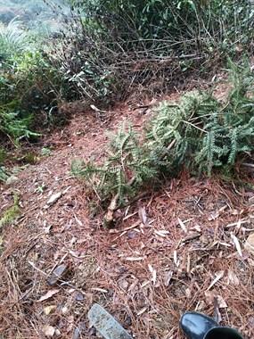 都会结果了,一夜间通源整片山香榧树被砍!损失惨重
