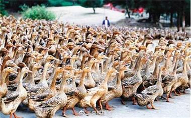 浙江10万鸭子将出国灭蝗?20年前林城的3万鸭子也干过!