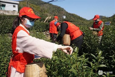 德清莫干山青年志愿者分赴各茶场助农采茶