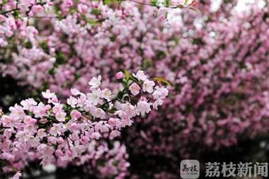 """常州大学邀您""""云赏花"""":海棠、二月兰、粉桃三校区隔空争艳"""