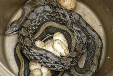 你见过吗?有种蛇一次生100条小蛇,还会附到人身上