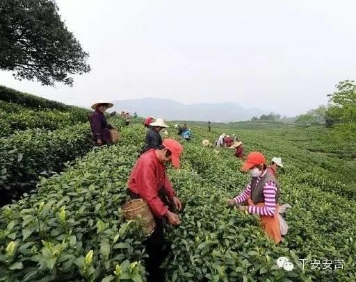 工资130元一天!湖州采茶工受虐待?12名老人被困深山…