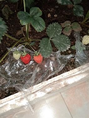 这算野生草莓??吗?