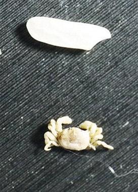比米粒还小的螃蟹