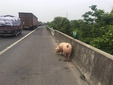 练杭高速一运猪车翻了!26头肥猪撒欢,这画面太美不敢看…