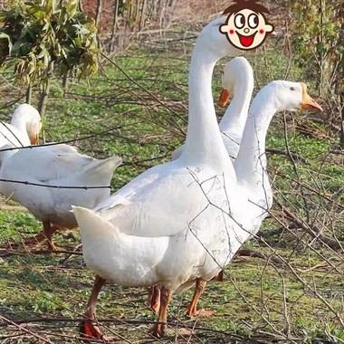 【转卖】鹅蛋