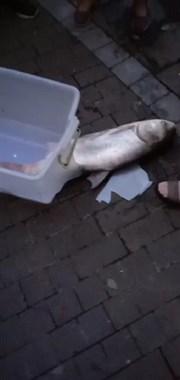 在城关长桥捕到10多斤的白鲢鱼!现场噶多人,天黑还在抓
