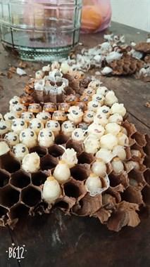 活的老蜂。活的地洞蜂子。安排