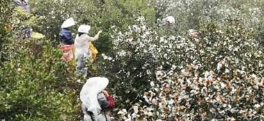 6万亩油茶迎丰收 工人采摘晾晒忙