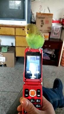 家里飞来一只漂亮的小鸟!好粘人呀,还在老妈身上走来走去