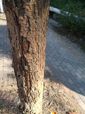 路边的树好像生病了,没人管啊