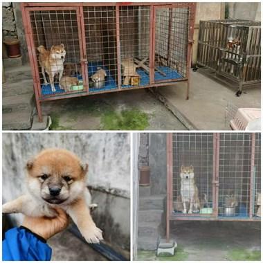 【转卖】宠物猫英短,小鹿犬,柴犬出售