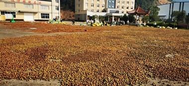 我国油茶种植面积达6800万亩