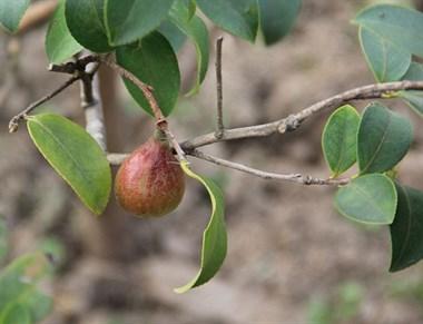 油茶树什么时间修剪?有哪些高产品种?