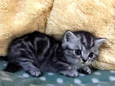 家养曼康基矮脚美短小猫咪柯基短腿猫,找新家