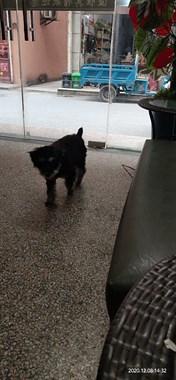 雪纳瑞宠物狗找男朋友