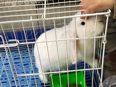 给宠物长耳兔找新家