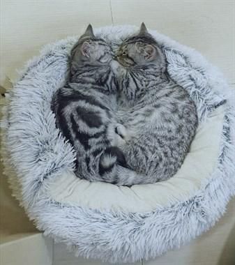 【转卖】家养矮脚美短猫崽柯基猫找新家咯