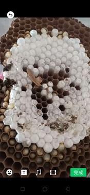 地洞蜂子,树蜂,老蜂,蜂酒
