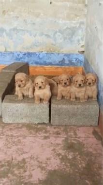 本地直销各种宠物狗13586675843