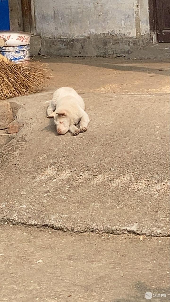可怕的细小病毒狗狗