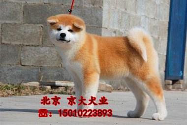 出售赛级秋田犬 疫苗驱虫已做 寻找它的主人