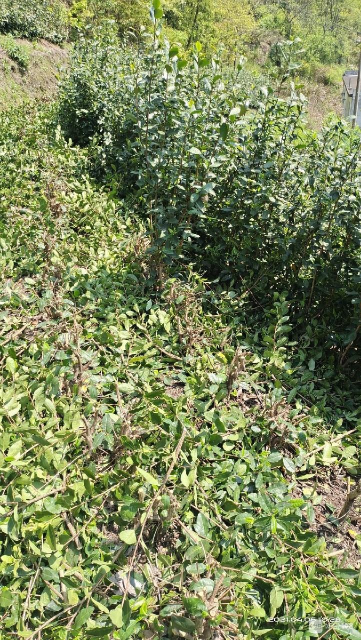 社友剪茶树发现了一窝嗷嗷待哺的小生命!照片萌萌哒