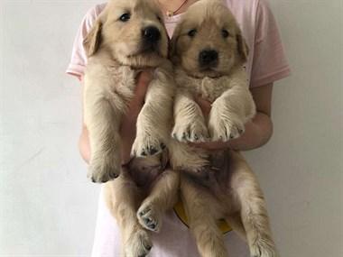 本地犬舍繁殖直销各类宠物犬可以上门看狗