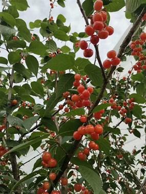 樱桃成熟啦