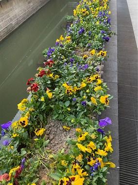 乾元沿河这条靓丽风景线,竟变成菜园!好多花被拔掉种菜