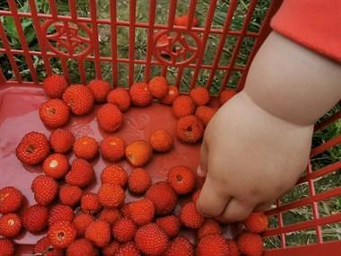 诸暨哪里能摘樱桃和阿公公?采摘地图、种植户电话来了!