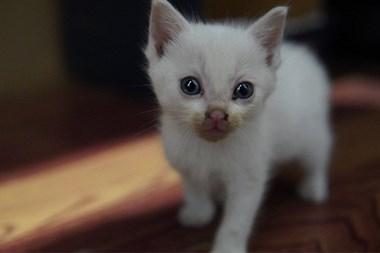 【转卖】求领养 蓝眼白猫