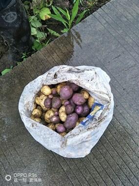 从来没见过!一颗土豆变成这样,竟有紫黄两种颜色
