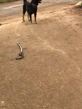 好大一条蛇!家中6年老狗出动,三两下咬个半死!