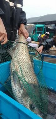 袁花街上惊现野生大包头鱼,最大的重20多公斤,有人要联系