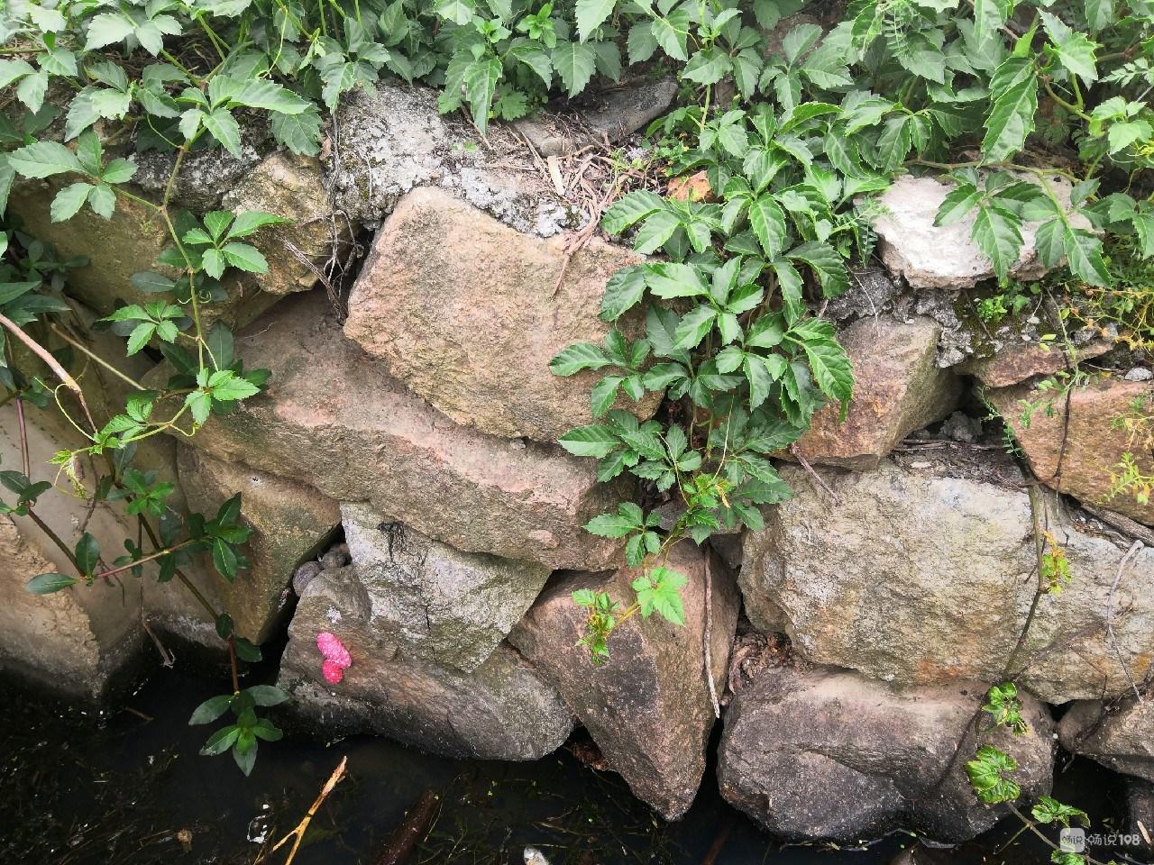 这种有毒螺丝很难灭绝!舟山社友在水库坝发现好多,密密麻麻