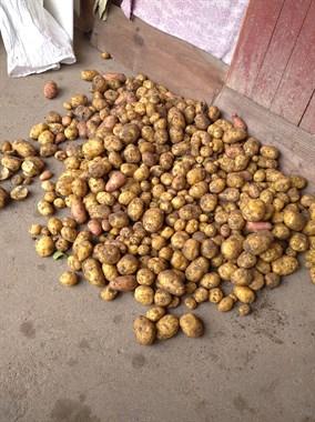 做个农民真不容易!早起去岭南挖土豆,1小时挖了三四十斤