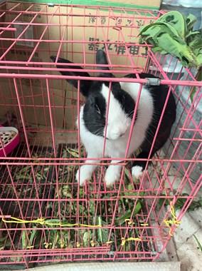 【转卖】宠物兔(免费送)