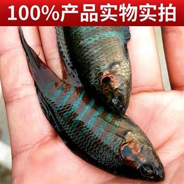 出售中国野生斗鱼普叉