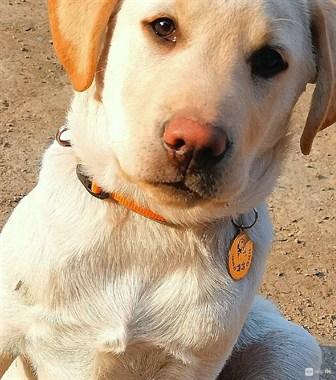 【转卖】转卖10个月大拉布拉多公犬