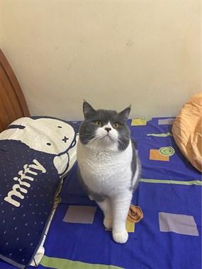 【转卖】出售两只蓝猫,一公一母,7月正好两岁