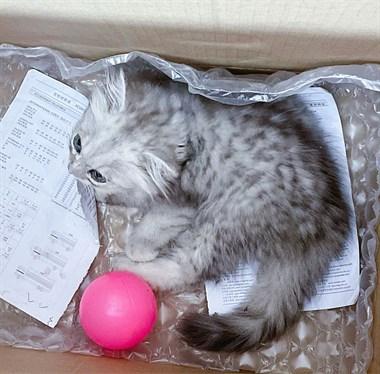 免费领养猫咪。英短渐层