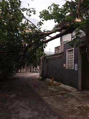老火车站附近消防通道被倒下的大树挡路!好几天了谁都不管
