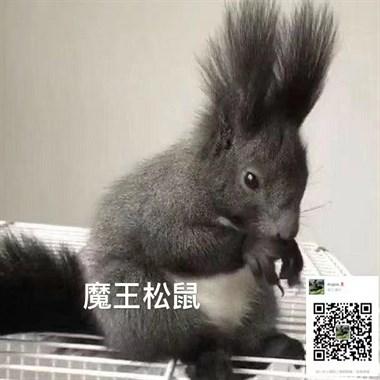 【奇趣萌宠】松鼠、网红蜜袋、大眼飞鼠等找新主人