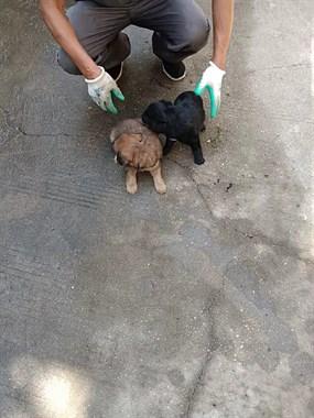 【转卖】免费领养中华田园犬