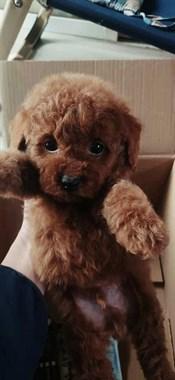 【转卖】自家生的小体红色泰迪