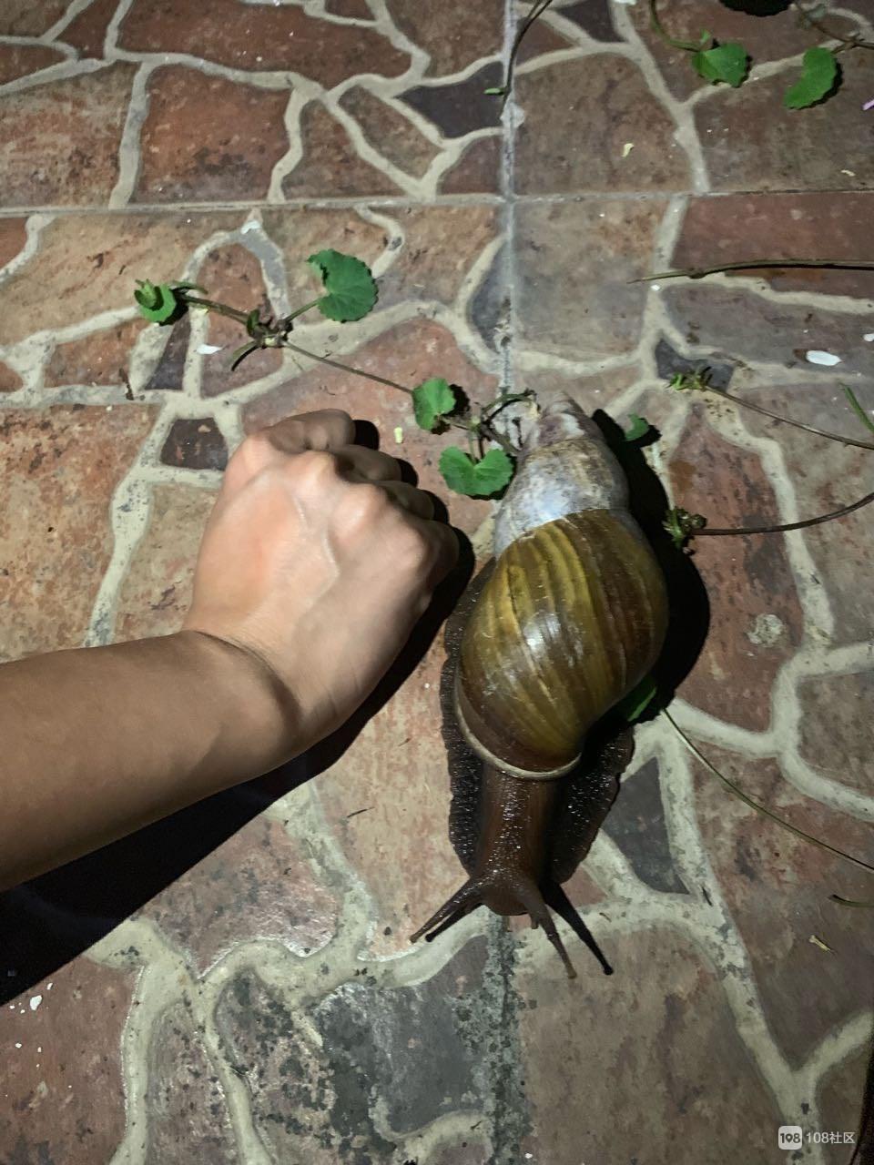 遇见宝了?意外发现只拳头大的蜗牛,社友:必须养着