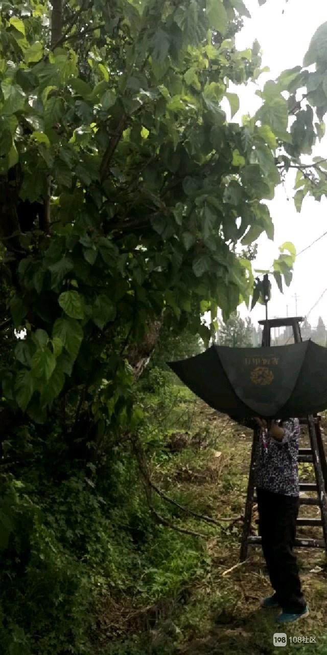 五一在德清摘桑葚,树太高只能用这方法!你爱吃吗?