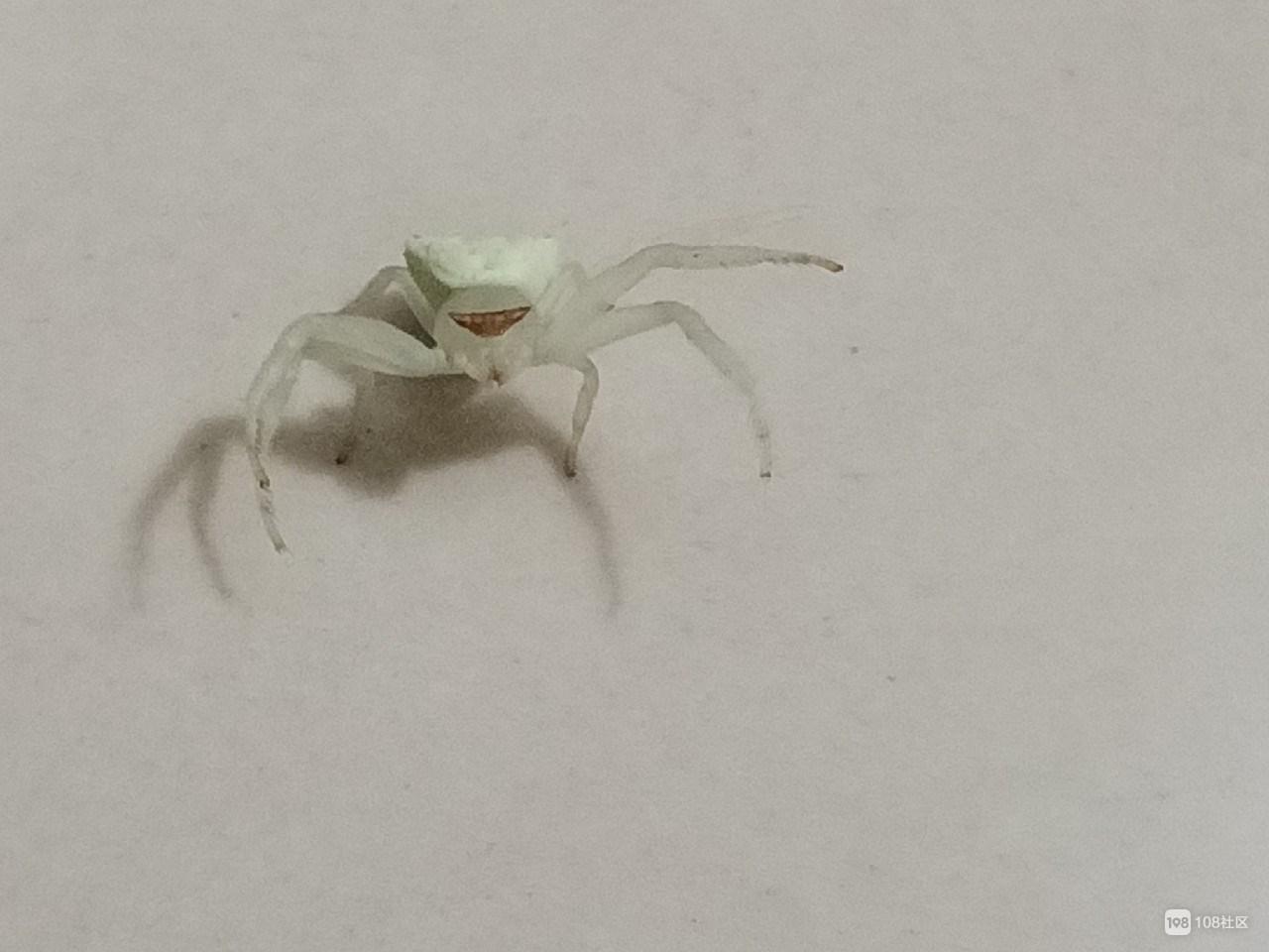 发现新物种?这看着水嫩的奇葩毒蜘蛛你家可能也有!