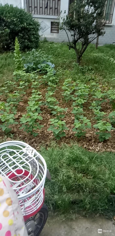绿化带种满蔬菜瓜果,武康这里被整治全拔掉!